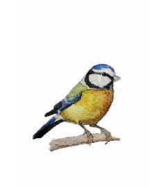 Kékcinege - giclée művészi nyomat